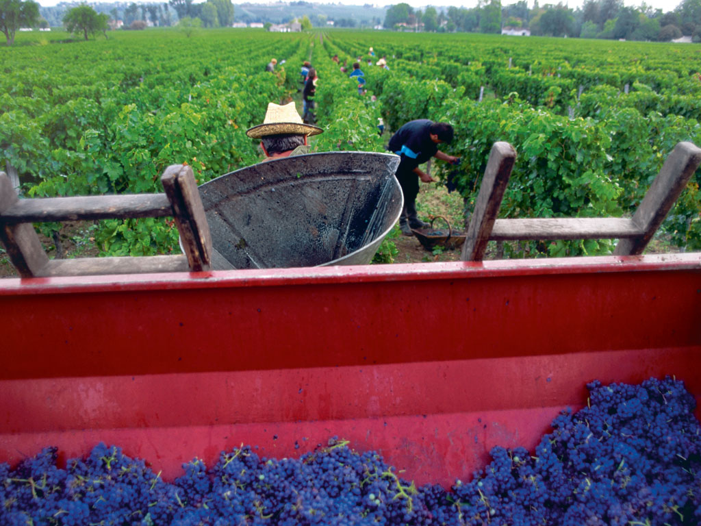In France, grapes are usually harvested in September, but harvest season can also begin in August and end as late as October, depending on the ripeness of the grapes and the region. Photo by: George Steinmetz/Corbis Documentary/Getty Images