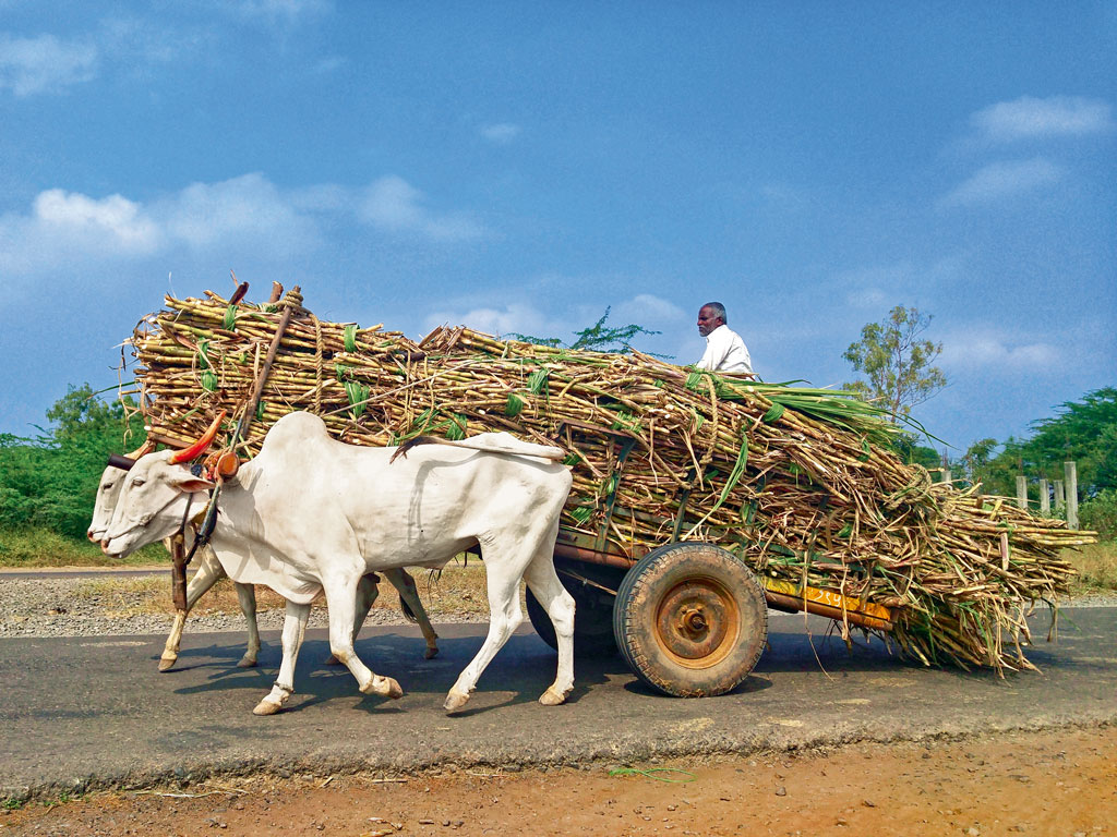 Phaltan is part of Maharashtra's sugar bowl and the abundant sugarcane is transported to factories and jaggery-making units in bullock carts. Photo by: Prachi Joshi