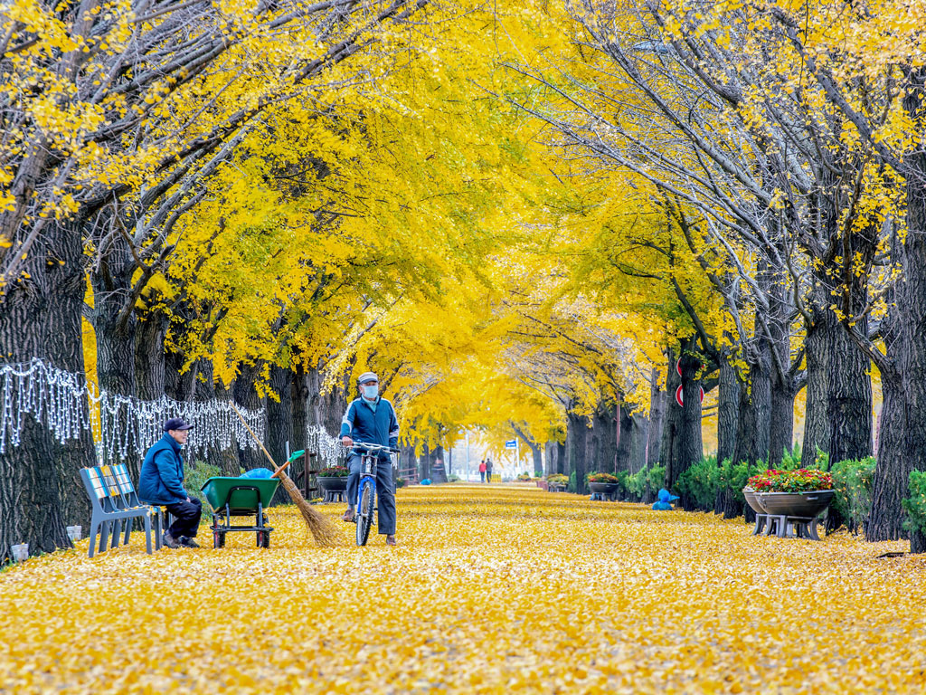 Nami Island often teems with tourists, but a walk down its dreamy Metasequoia Lane dispels the worst of crabbiness. Photo by ©tawatchai prakobkit/Alamy.indiapictures.