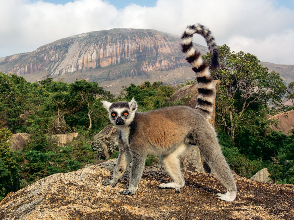 At the Andringitra Massif in Madagascar, the endangered ring-tailed lemur can be spotted on exposed rock. Photo by Pete Oxford.