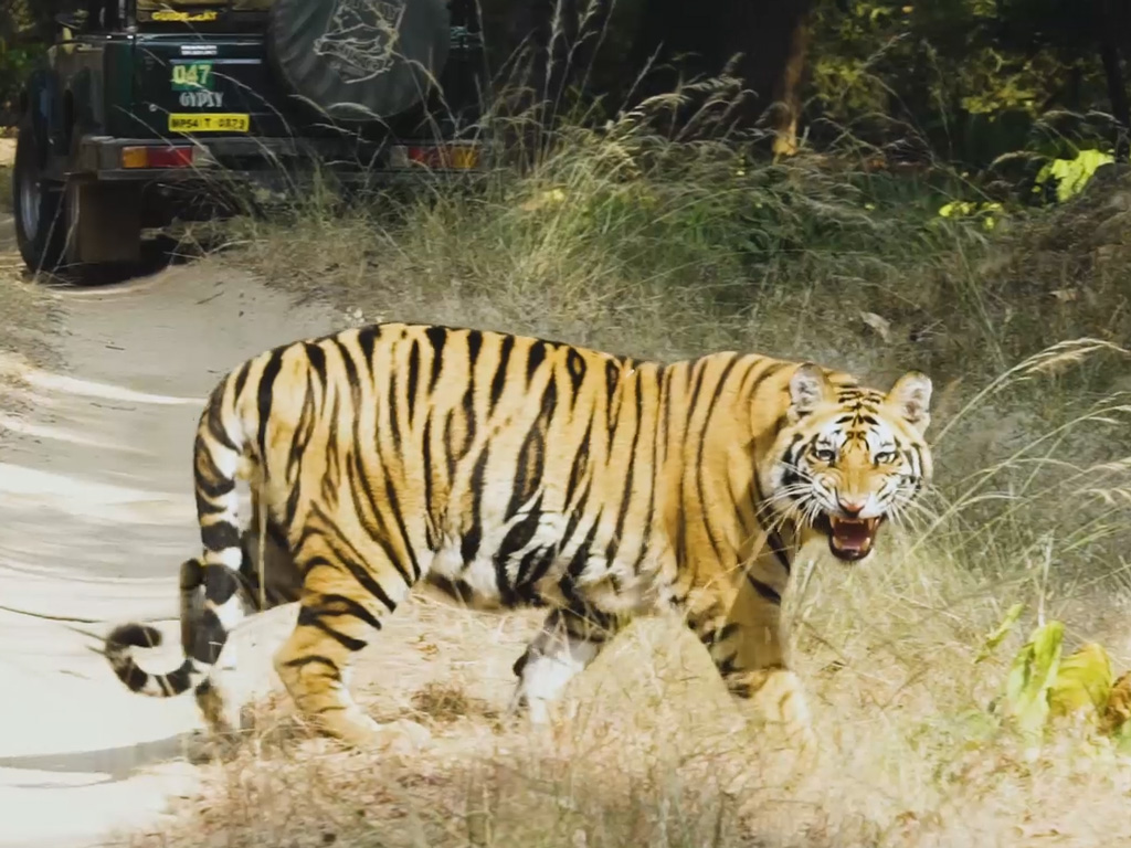 Bandhavgarh National Park has a very high tiger density.