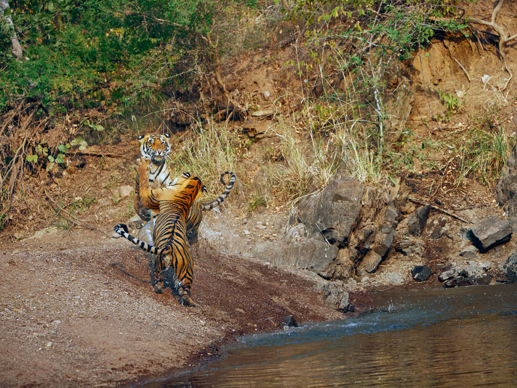 Most visitors who travel to Ranthambore National Park have a tiger story to tell. The writer, for instance, lucked out and spotted three siblings sipping water in a pond. Two of them later got into a play-fight. Photo by: Bobby Bhargawa