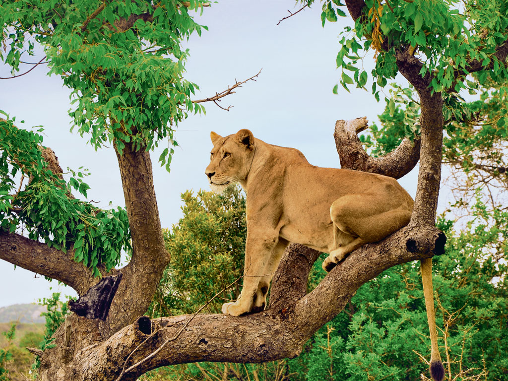 Climbing trees is not behaviour commonly exhibited by lions. However, most of the prides at the 60,000-acre Phinda Private Game Reserve have mastered the technique, often climbing bush willows to scan the savannah landscape.