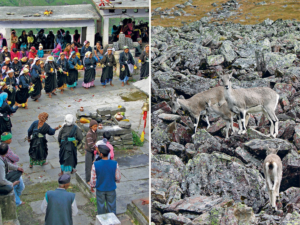 Villagers, for whom Nanda Devi is their all-sustaining goddess, celebrate the tribal festival of Nandashtami (left). A herd of inquisitive bharals at the Dharansi camp (right). Photos by: Bibek Bhattacharya