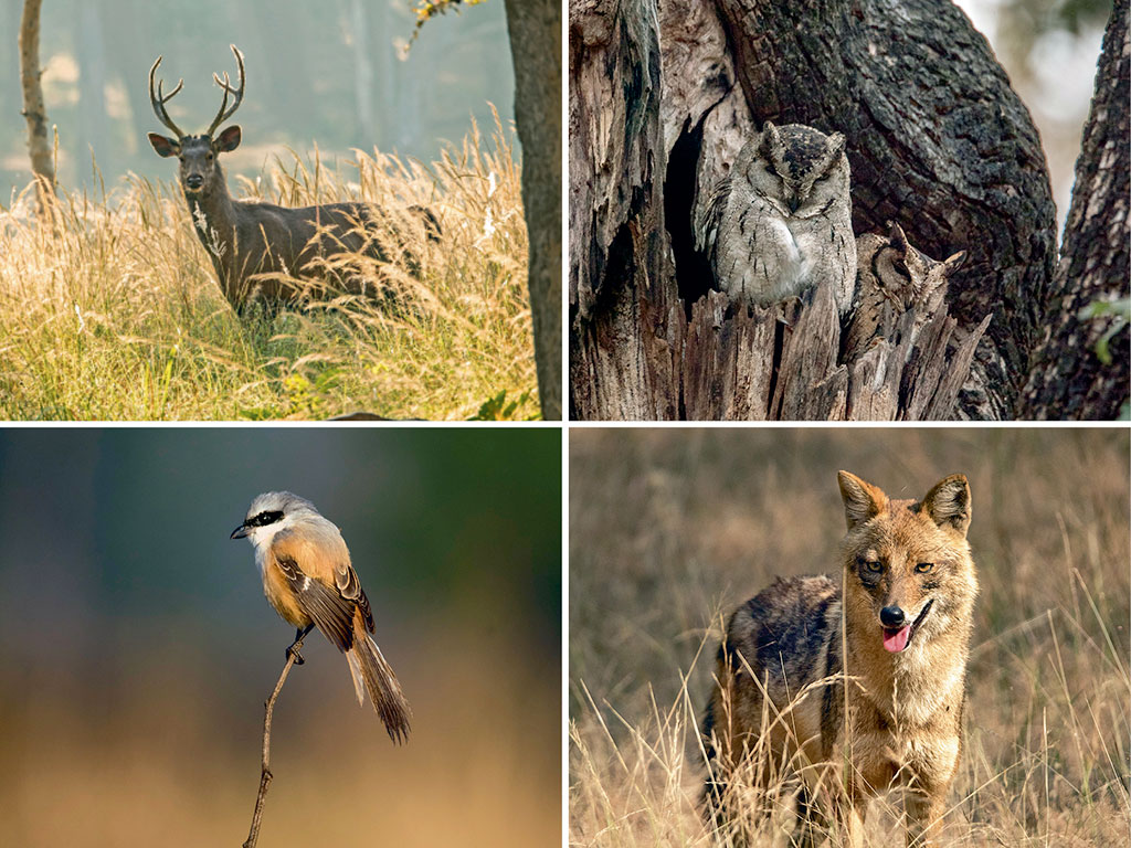 Both Kanha and Pench are tiger reserves but there is a lot more to see here, from the sambar (top left), which can be spied ambling all over the parks, to the Indian scoups owl (top right), spotted roosting on trees, jackals (bottom right) and the ubiquitous long-tailed shrike (bottom left).