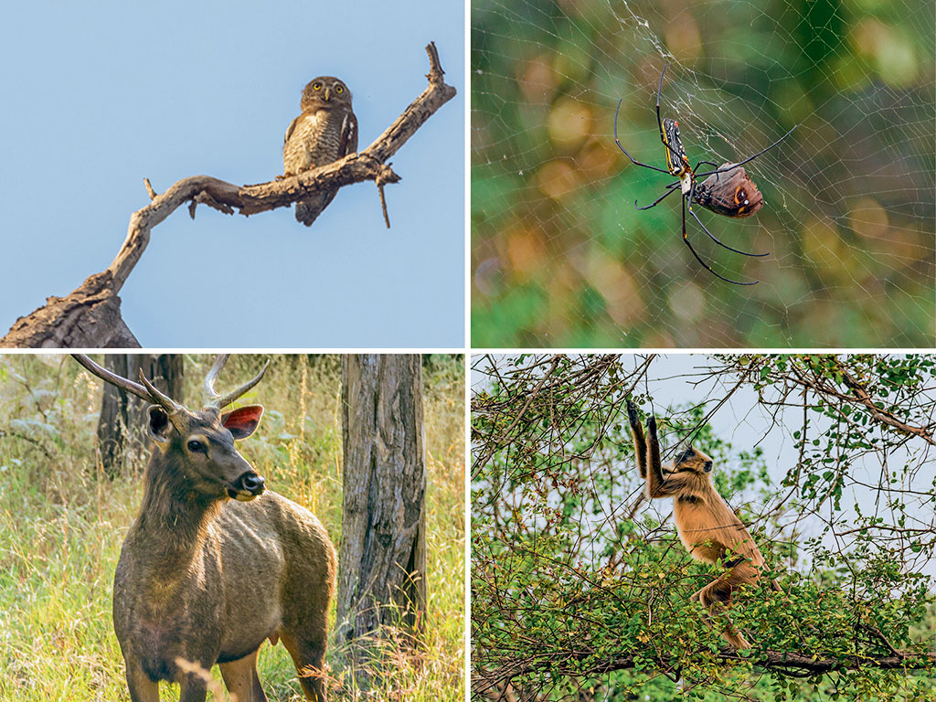 A southern plain grey langur (bottom right), famously known as Hanuman langur, prances around in the forest, plucking and chewing leaves. The 'jewel of Vidarbha' is lush with bamboo and teak trees, and is home to giant wood spiders (top right), sambar (bottom left) and spotted owlet (top left).