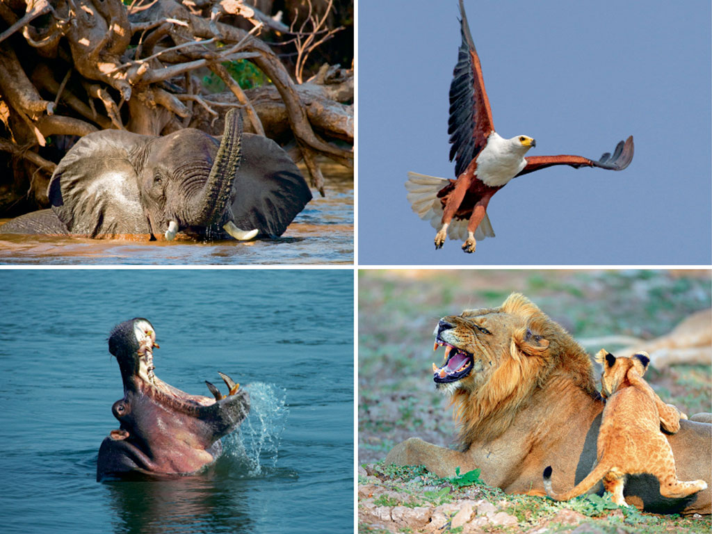 The breadth of wildlife sightings (clockwise from bottom left: hippos, African elephants, African fish eagles and lions) in the Lower Zambezi National Park is stunning. Photos by: Dennis Jones/Lonely Planet Images/Getty Images (hippo), Shutterstock/IndiaPicture (elephant), Robert Muckley/Moment Open/Getty Images (eagle), Franz Wögerer/imageBROKER/Dinodia Photo Library (lion)