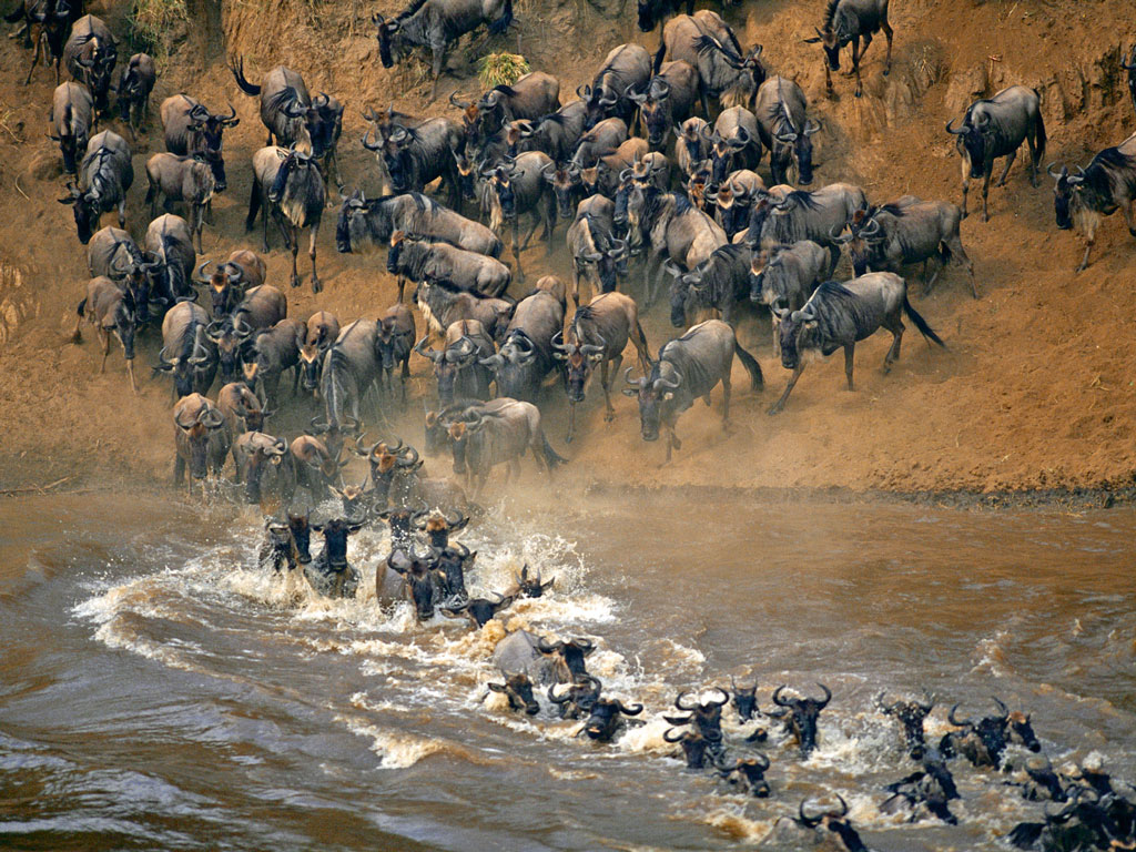 One of the most spectacular events in the natural world, the annual wildebeest migration culminates at the Mara river crossing where the hungry jaws of Nile crocodiles determine which animals live on to return another season. Photo by: Anup Shah/DigitalVision/Getty Images
