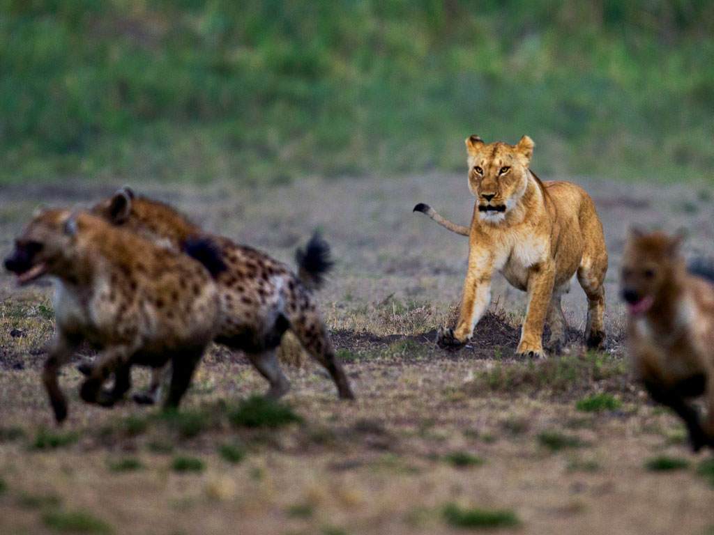 Contrary to common belief, lions too scavenge like the hyena. Photo by: Anup Shah/Photolibrary/Getty Images