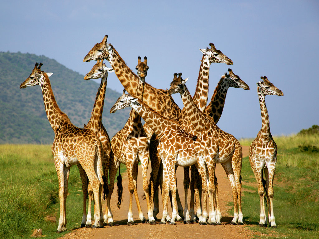 For such a beautiful animal, the giraffe has an extremely awkward gait. Photo by: Neil Thomas/AWL Images/Getty Images