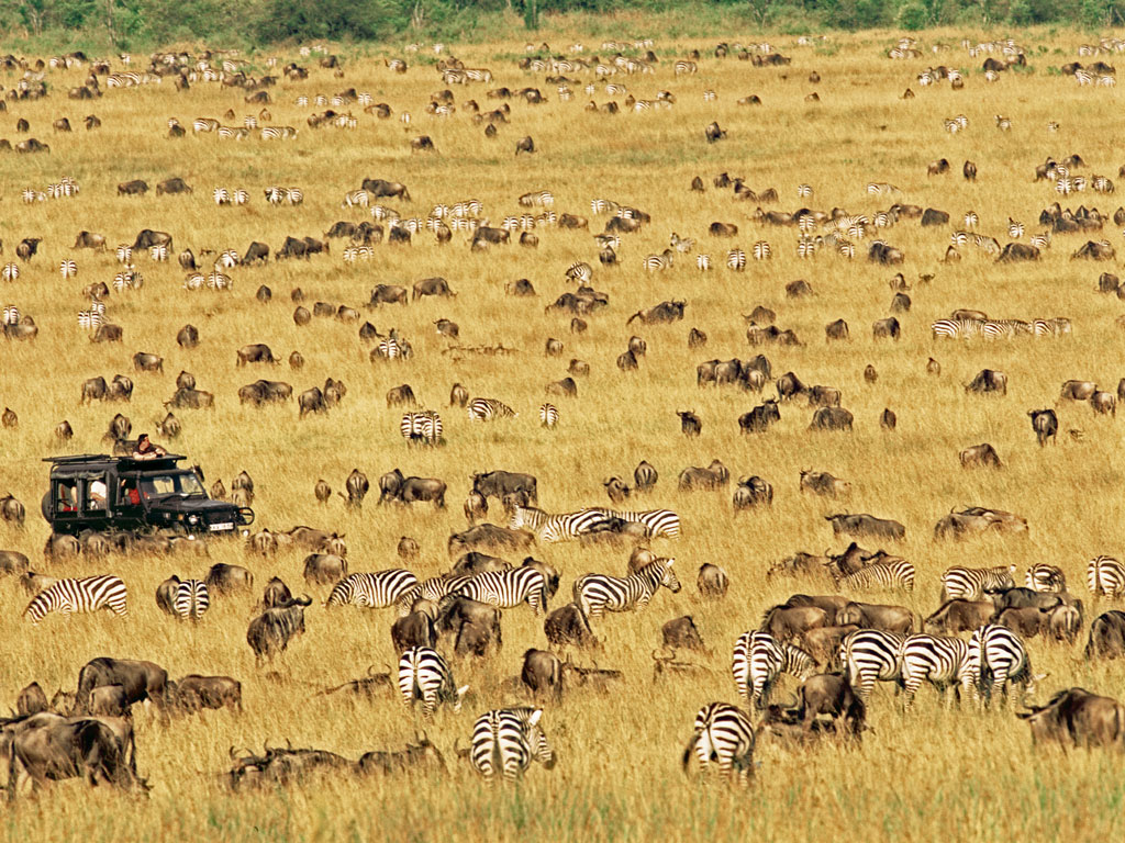 Wildebeests have a better sense of smell than the zebras, who in turn have sharper vision. The two creatures are often seen migrating together in Masai Mara. Photo by: James Warwick/Stone/Getty Images