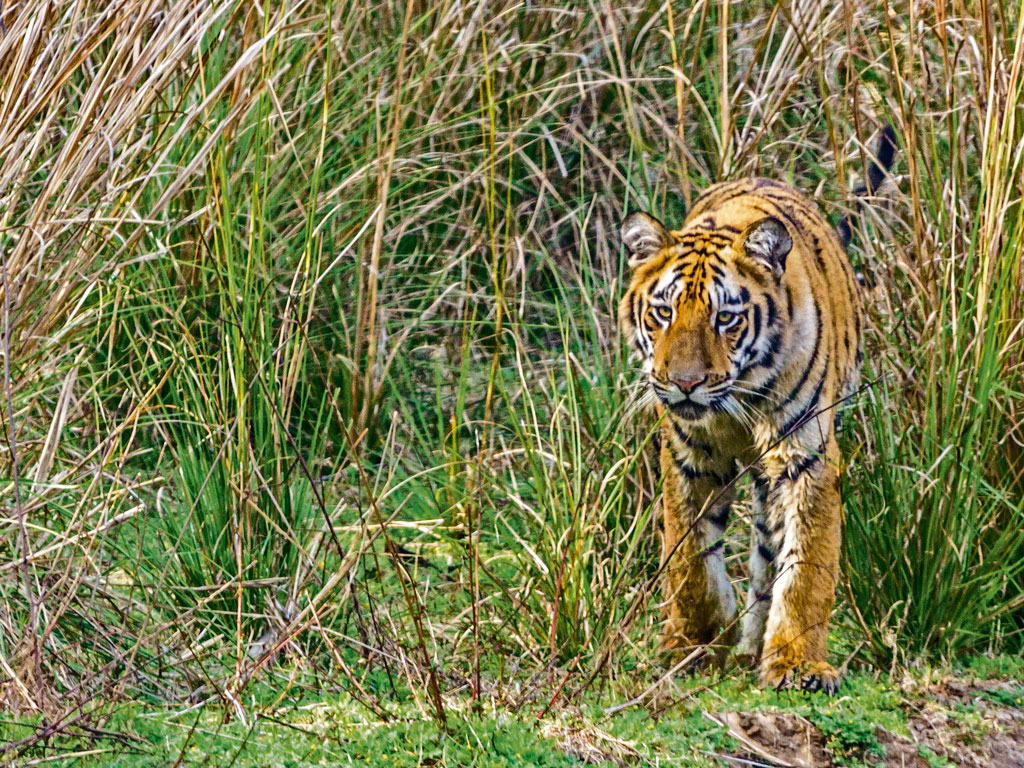 Tadoba's diva, Madhuri, is the mother of 20, and here is one of her babies, emerging from the reserve's Devada buffer zone. Photo by Supriya Kantak.