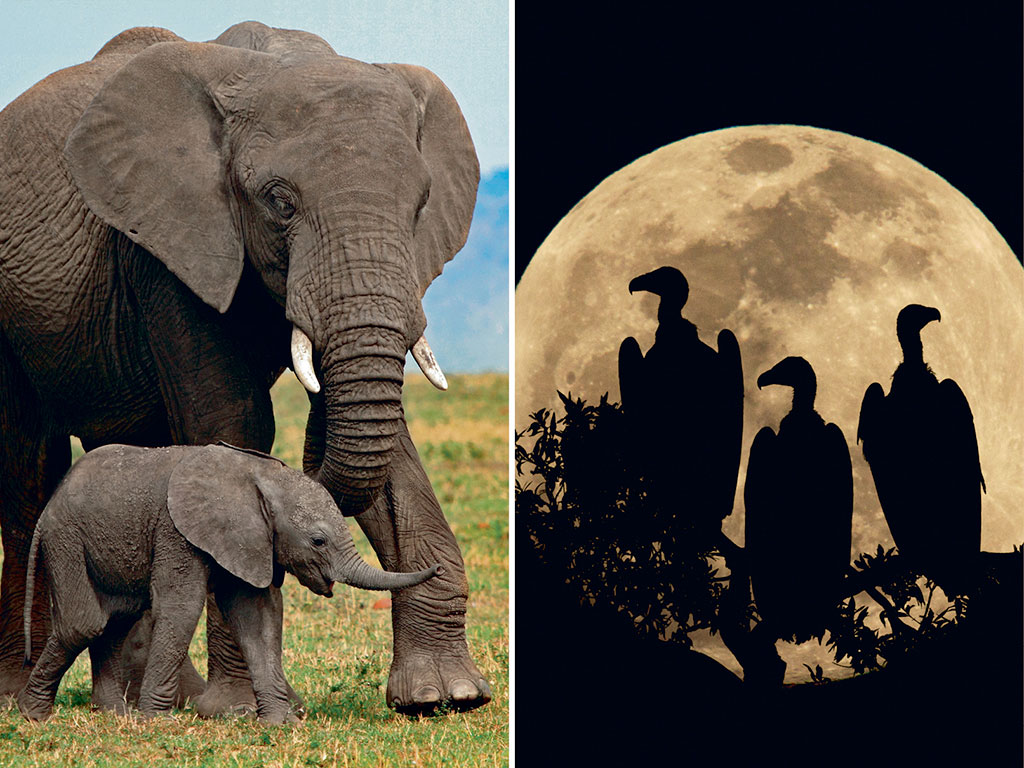 Safaris in Masai Mara throw up postcard-perfect scenes: African elephant calves being led by vigilant matriarchs (left) and vultures magically silhouetted in the night sky (right).