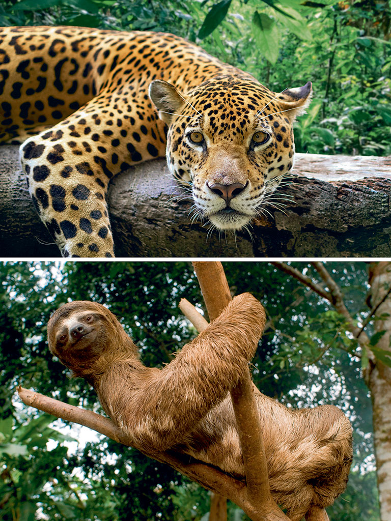 "Largest of South America's big cats, jaguars (top) are expert swimmers and get their name from the Native American word yaguar, which means ""he who kills with one leap."" The three-toed sloth (bottom) mostly lives on trees and sleeps for 15-20 hours every day. It seems to move in slow-motion and can turn its neck to about 270 degrees. Photos by: Kim Schandorff/Moment/Getty Images (Jaguar), Sergi Reboredo/age fotostock/Dinodia Photo Library (Sloth Bear)"
