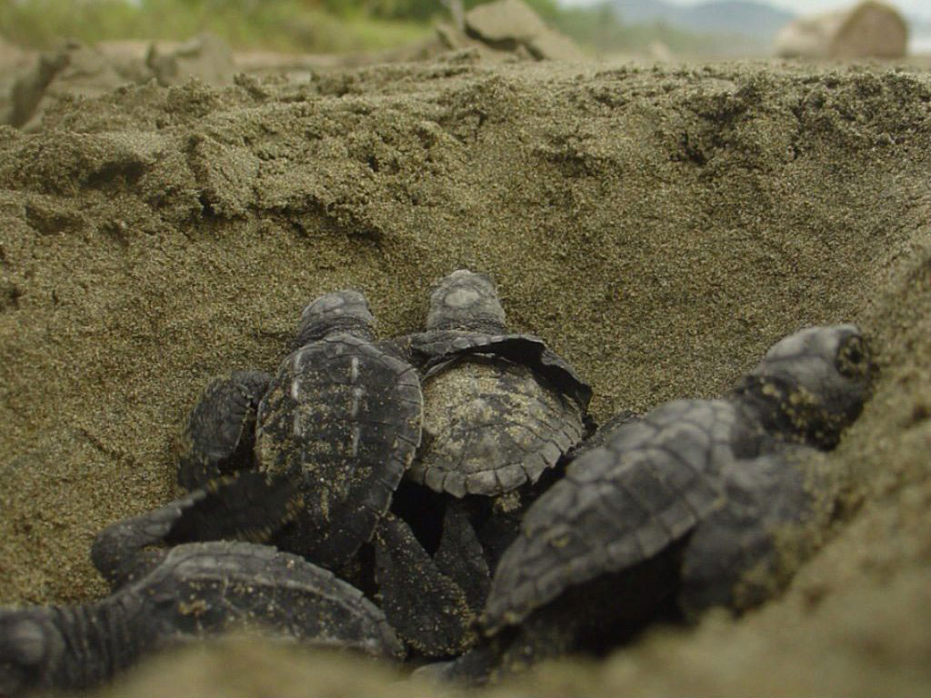 Watch new-born turtles hatch from the eggs and take their first step towards the sea at the Velas Turtle Festival in Ratnagiri. Photo by: Brad Flickinger/Flickr/Creative Commons (http://bit.ly/1jxQJMa)