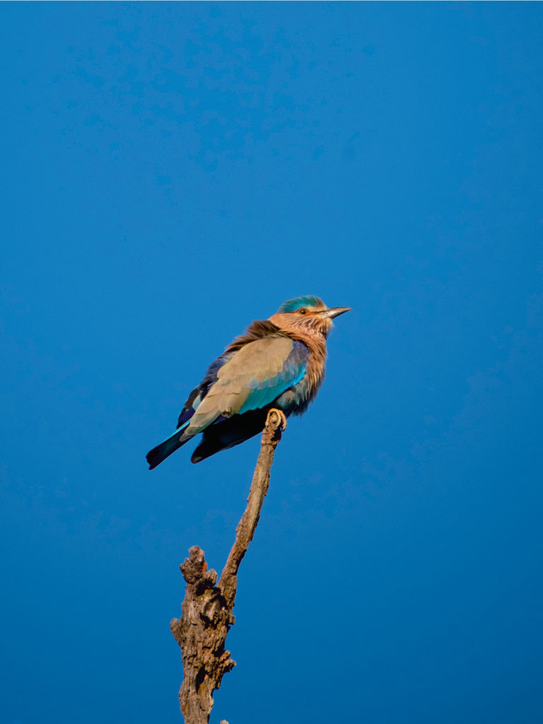 The Indian roller.