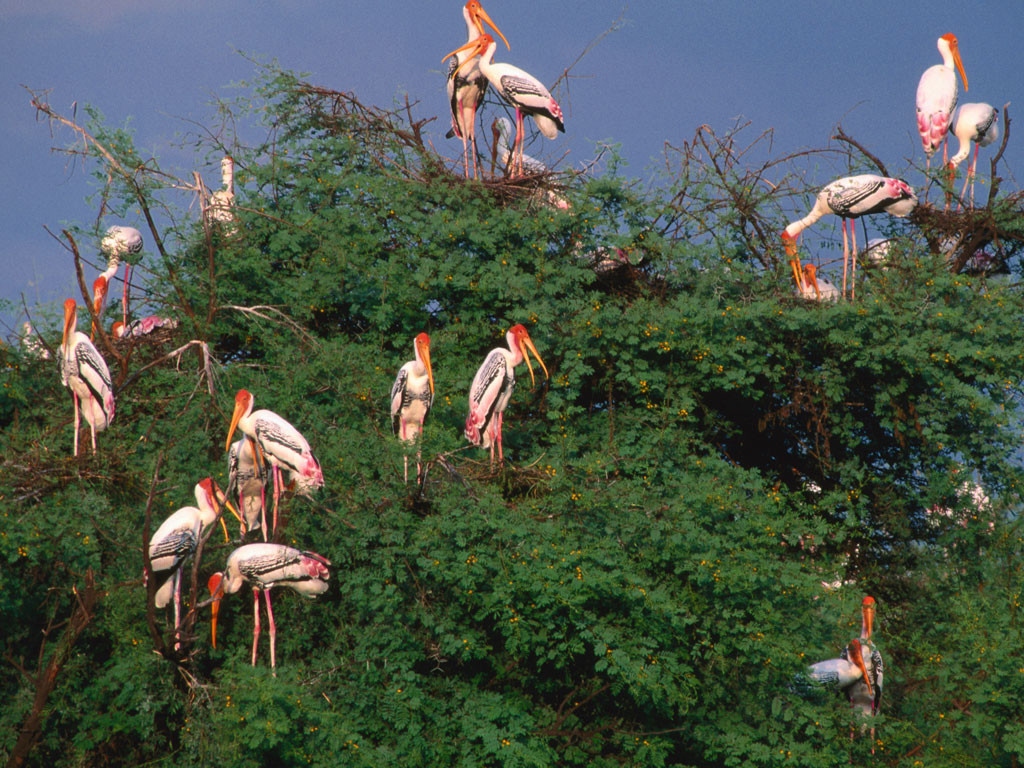 Keoladeo National Park, a UNESCO World Heritage Site, is a haven for large groups of painted storks. They aren't shy of human presence, and large groups can easily be spotted atop trees. Photo by Hira Punjabi/ Lonely Planet Images/ Getty Images.