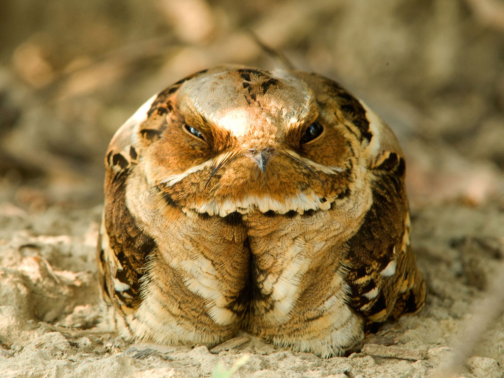 The nightjar ​is another avian resident of the Keoladeo National Park. Photo by Dinodia Photo/ Passage/ Getty Images.