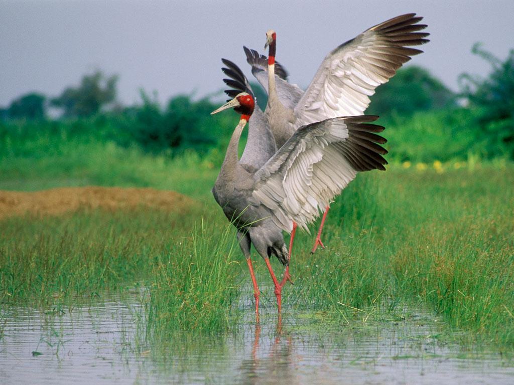 No trip to Keoladeo is complete without spotting the stately sarus cranes, the tallest flying birds that grow up to six feet in height. Photo by Hira Punjabi/ Lonely Planet Images/ Getty Images.