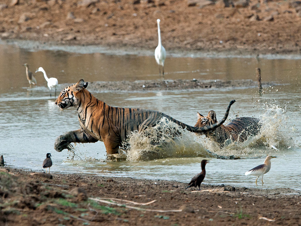 The resident  tigers are Tadoba's stars and thanks to their large populations in the reserve, often easy to spot especially in the summer months when they venture out to look for watering holes. Photo by  Hira Punjabi/ Lonely Planet Images/ Getty Images.