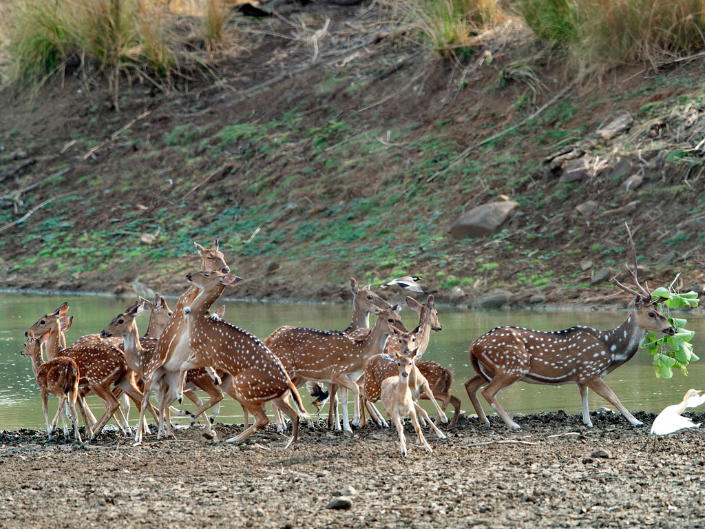One of the most easily spotted species in Tadoba Andhari Tiger Reserve national park is the spotted deer or chital, often seen in large herds. Photo by Hira Punjabi/ Lonely Planet Images/ Getty Images.