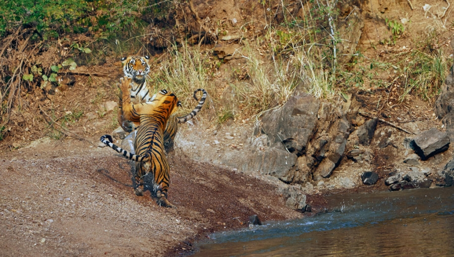 Mughal Tents and Tiger Tales in Ranthambore 2