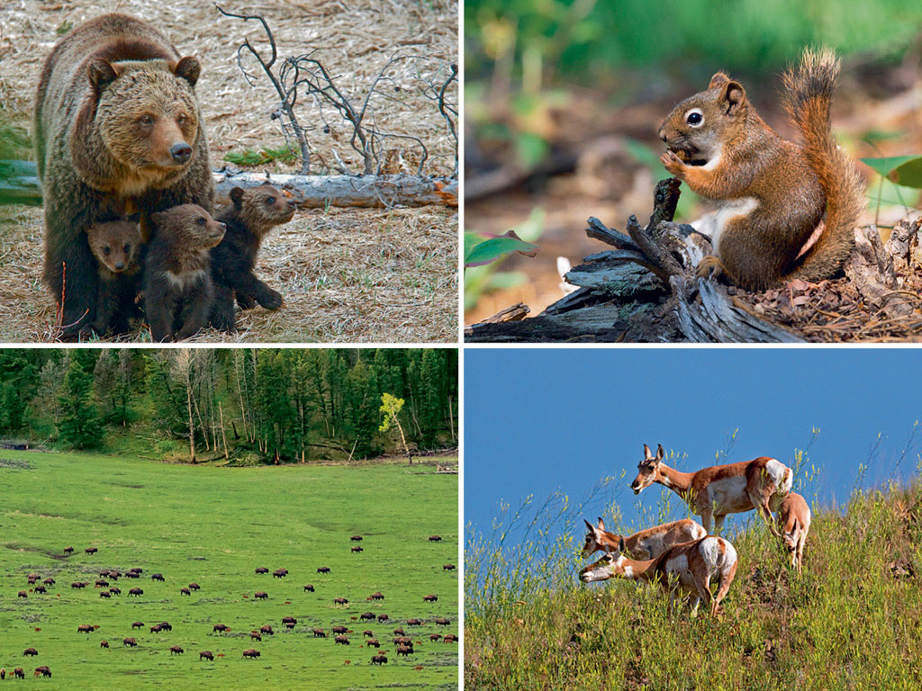 Grizzlies, though majestic, are often the danger hikers are warned against (top left); American red squirrel abound the park, but are lost in the flurry of bigger mammals (top right); Yellowstone has a 1,000-strong herd of bison, one of the few not hybridised due to interbreeding with cattle (bottom left); Pronghorn (bottom right) can often be spotted crossing roads, giving visitors a chance to get up-close to see their beautiful markings. Photos by: Natalia Kuzmina/shutterstock (deer), Holocene Eco Pros/shutterstock (bear), Natalia Kuzmina/shutterstock (squirrel), Holocene Eco Pros/shutterstock (bear), Moelyn Photos/Moment/Getty Images (bison herd)
