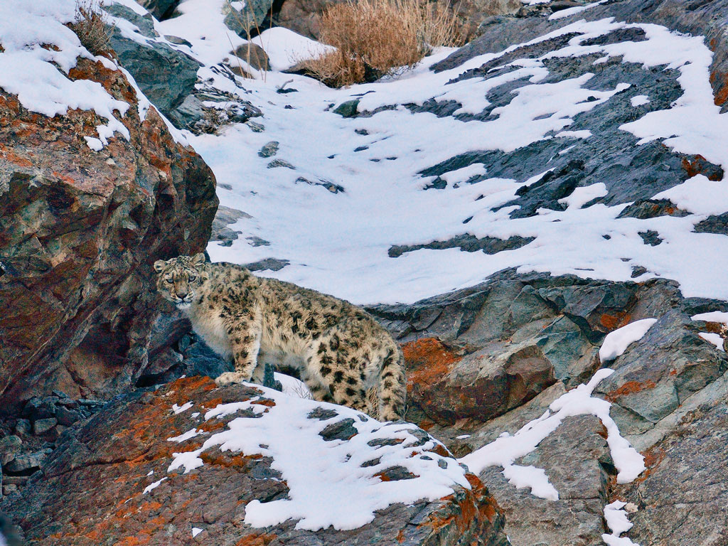 Snow Leopards 4