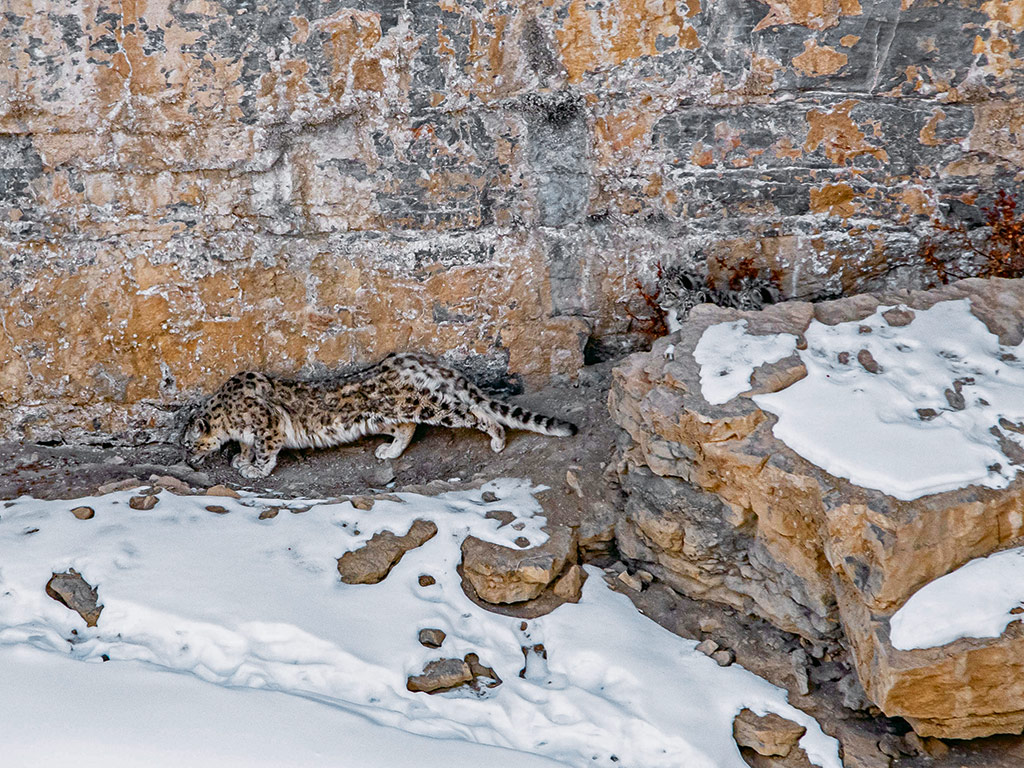 In Photos | Spotting Snow Leopards in Himachal Pradesh 5