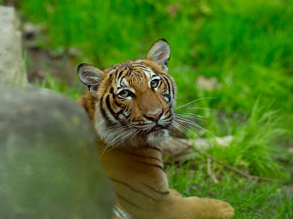 Tiger Tests Positive for Coronavirus at Bronx Zoo