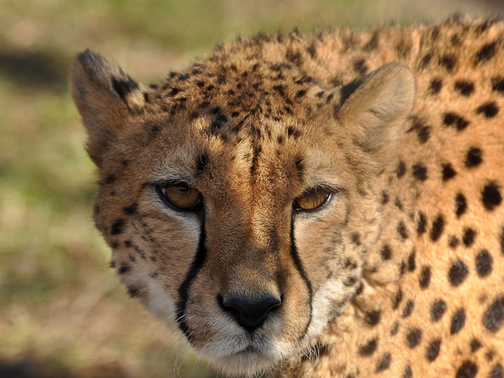 70 Years After Extinction, Cheetahs to Roam the Jungles of India