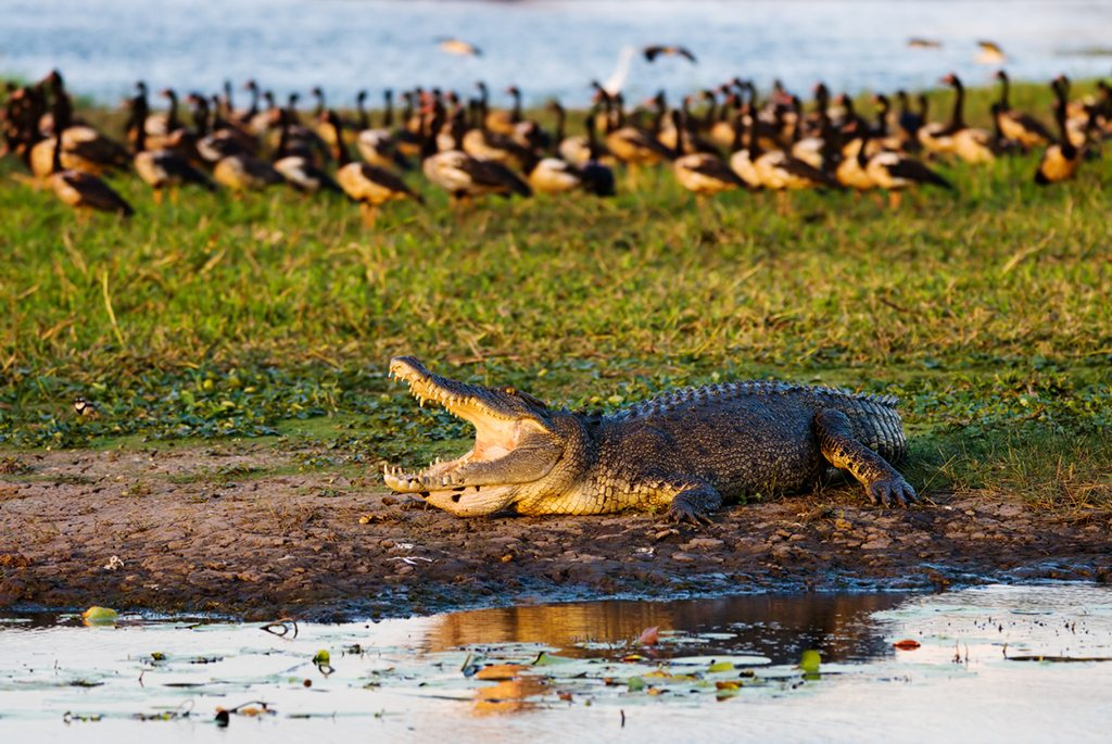 Go on a crocodile cruise to see the saltwater crocs in action. Photo: iStock.com/renelo