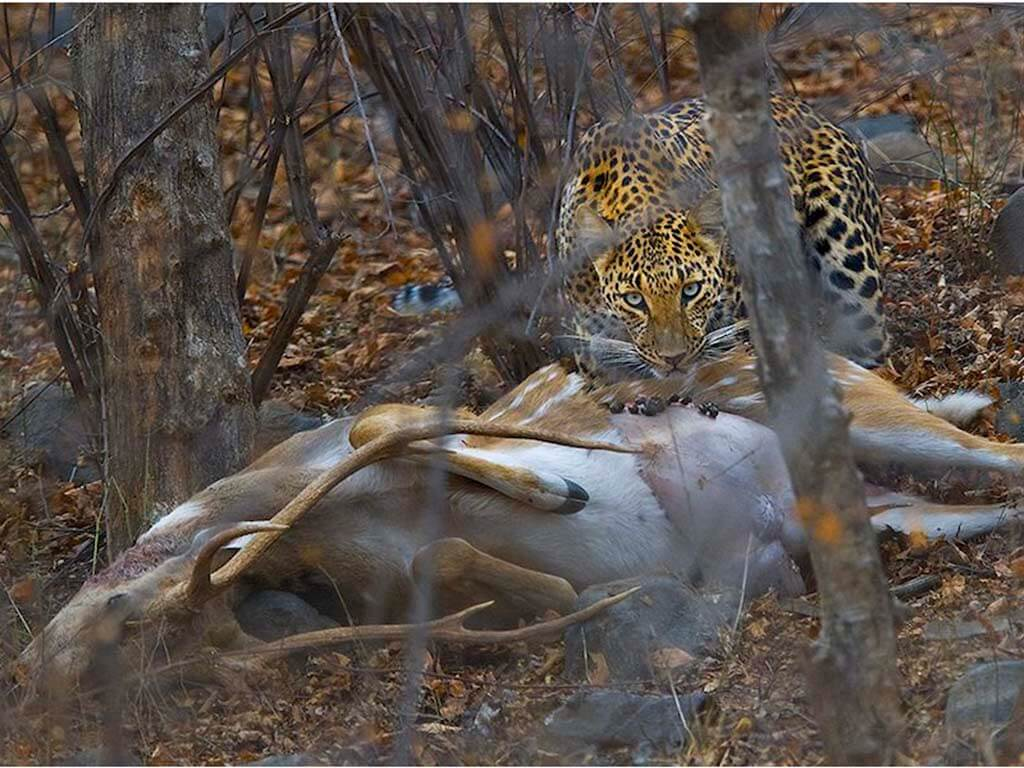 A leopard and its kill. Photo: Dhritiman Mukherjee