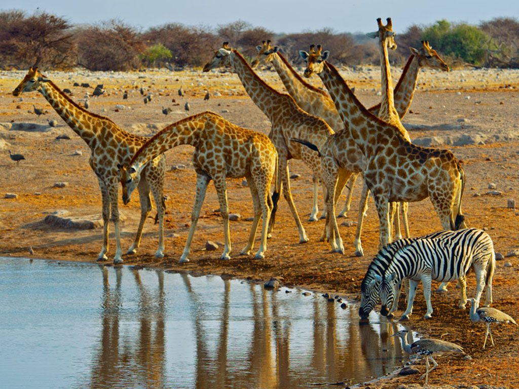 giraffes-and-zebras-at-a-watering-hole