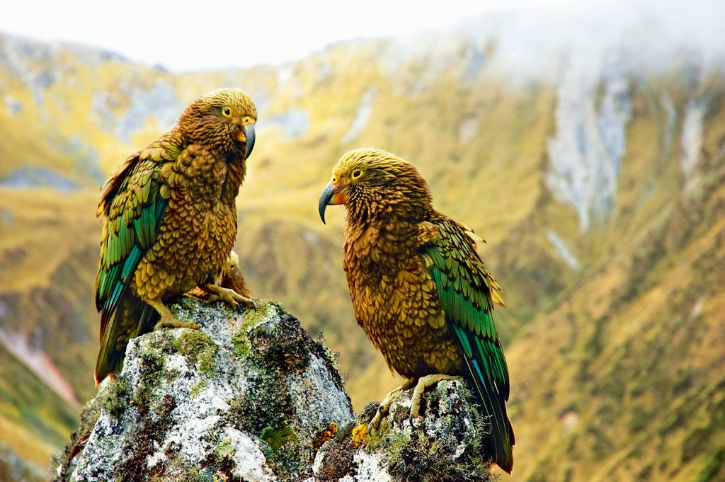 New Zealand Kea Birds Kepler