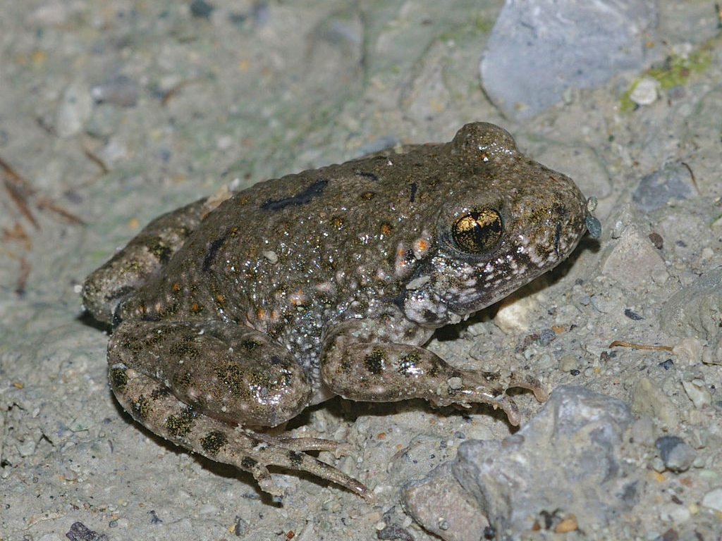 Common Midwife Toad Amphibian