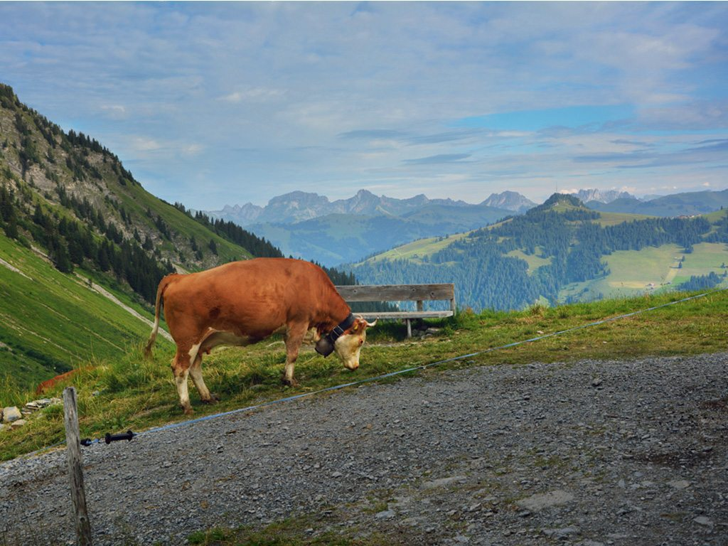 cow in Alpine pasture