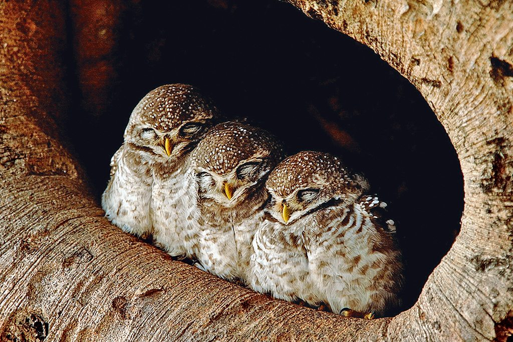 sleeping mottled wood owls