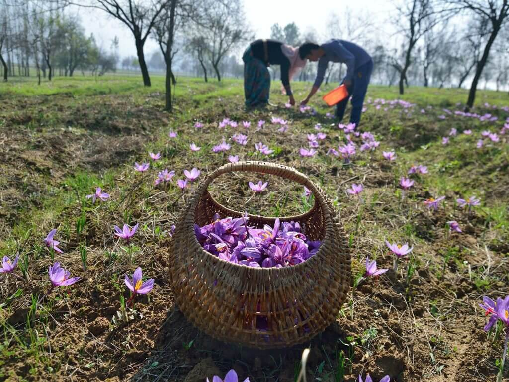 Around 15,000 flowers are required to make 1kg of dried saffron. Photo: Sajad Rafeeq