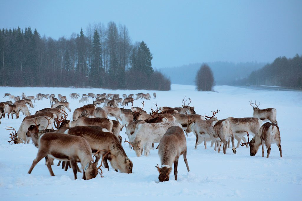 reindeer grazing in the snow