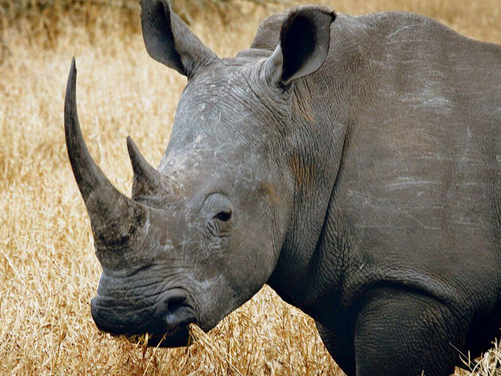 South African Endangered Rhinos