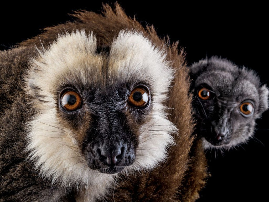 Lemur species on the island of Madagascar