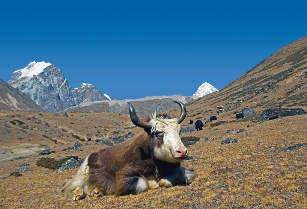 Animals Yaks Everest Base Camp