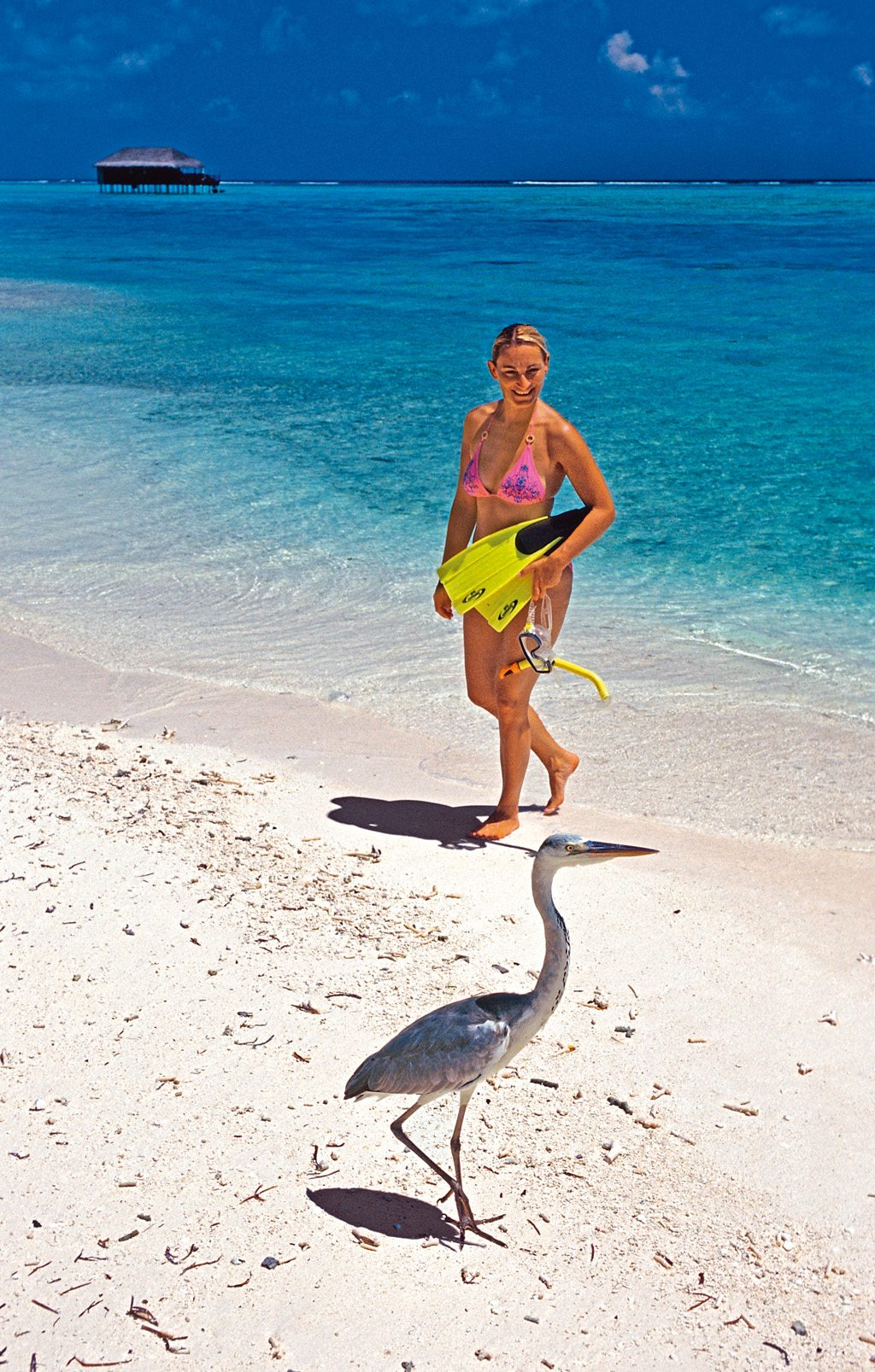 Grey Heron Maldives Beach