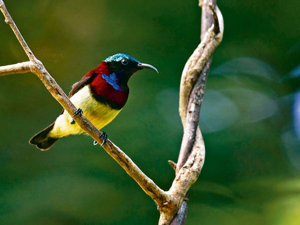 Bondla Wildlife Sanctuary Goa Crimson Backed Sunbird