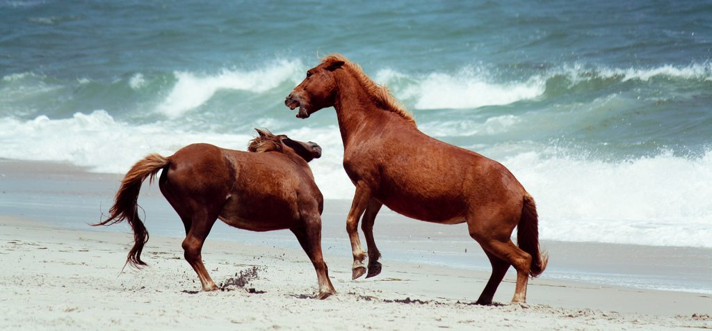 Assateague Island USA Ponies