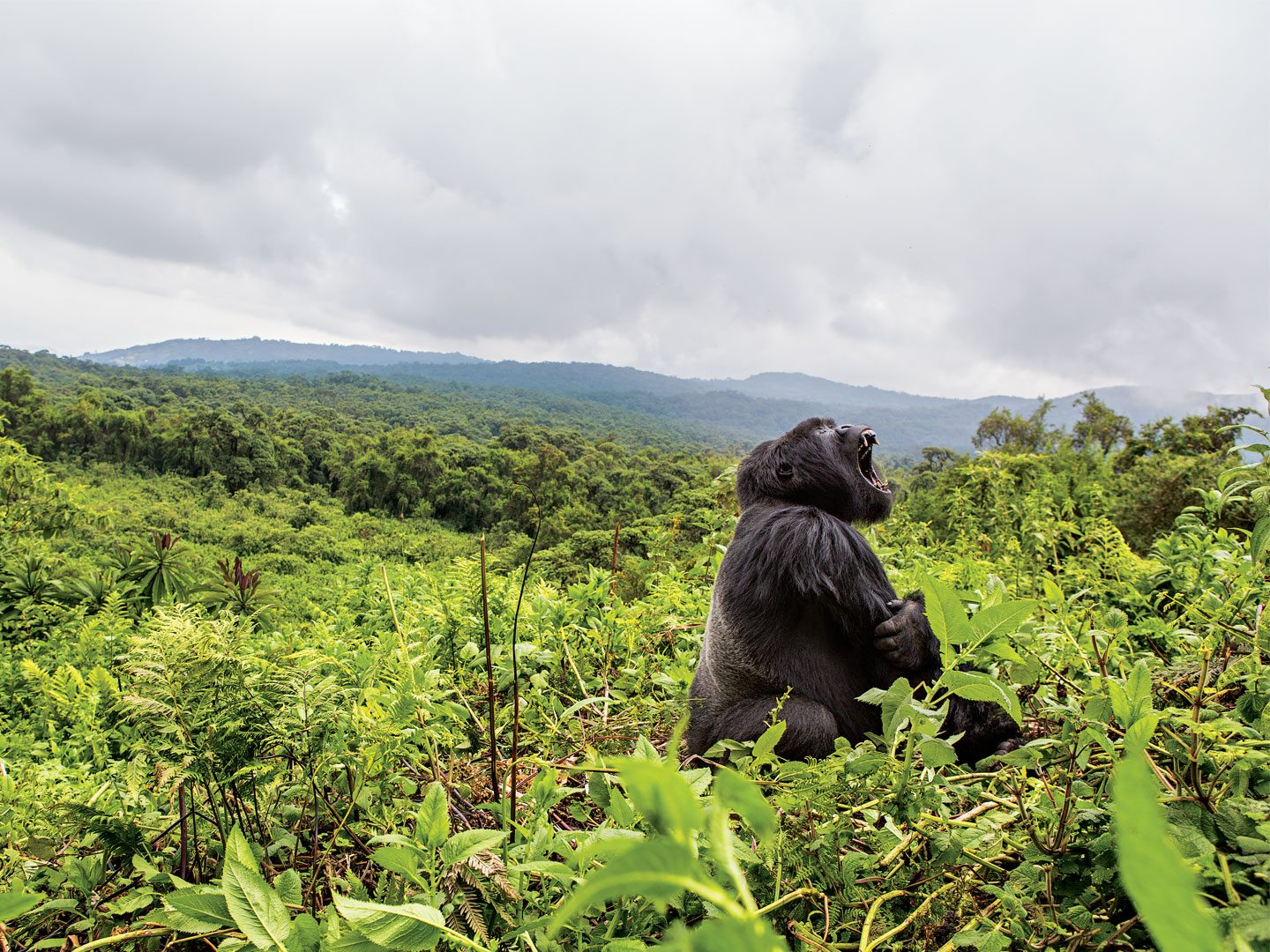 King of the rainforest, a gorilla yawns wide in Rwanda's Volcanoes National Park. Photo: Teagan Cunniffe