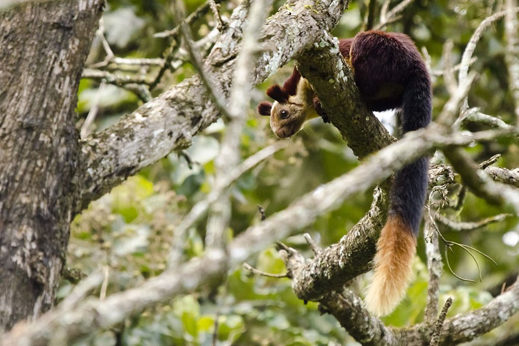 Indian giant squirrels can cover a distance of five to six metres in a single jump. The spritely species is called shekru in Marathi and is Maharashtra's state animal. Photo: Srikaanth Sekar/Wikimedia Commons (http://bit.ly/1jxQJMa)