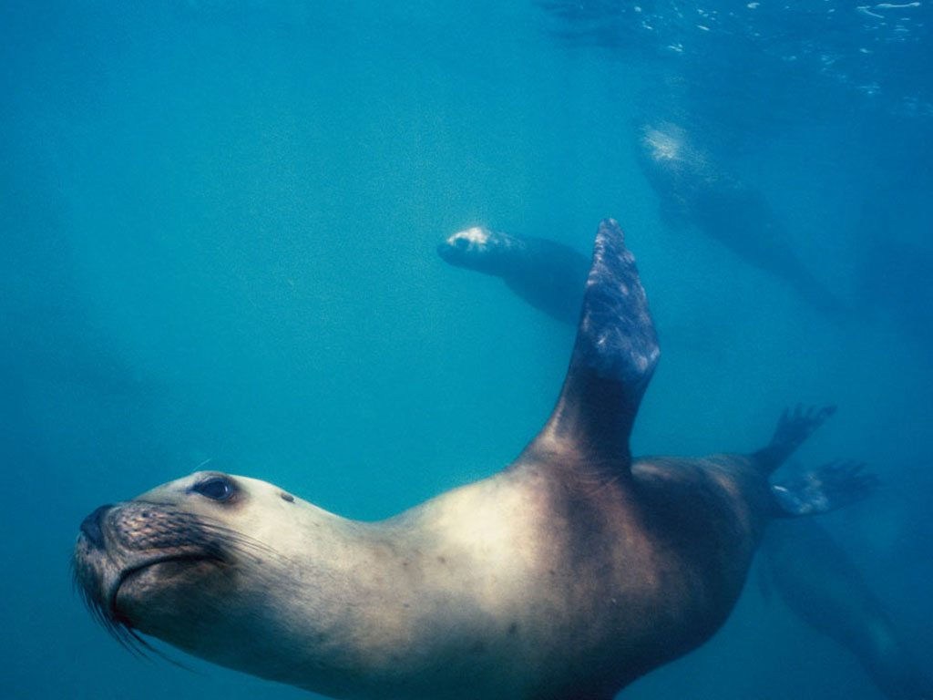 Sea Lion Atlantic Ocean Argentina Punta Loma