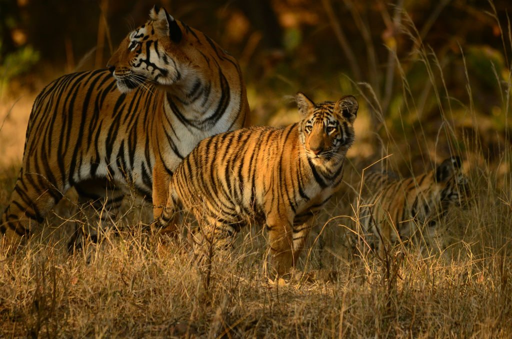 While tigers are the stars of the park, visitors to Tadoba are often delighted with sightings of sloth bears, crested serpent eagles, and elegant barasingha. Photo courtesy The Bamboo Forest Safari Lodge